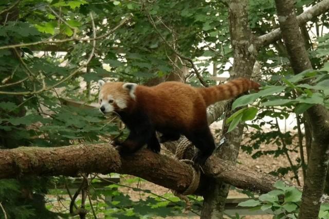 07-Red-Panda